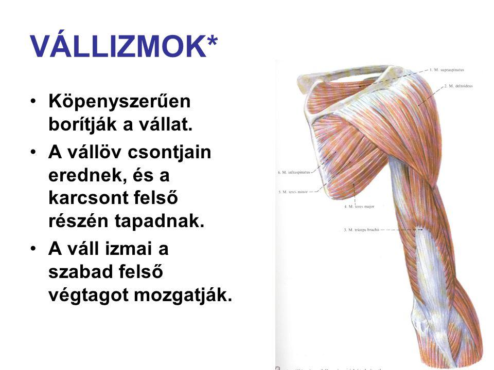VÁLLIZMOK* Köpenyszerűen borítják a vállat. A vállöv csontjain erednek, és a karcsont felső részén tapadnak. A váll izmai a szabad felső végtagot mozg