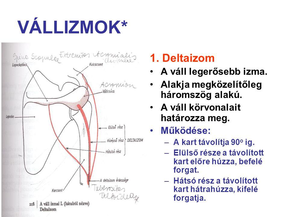 VÁLLIZMOK* 1. Deltaizom A váll legerősebb izma. Alakja megközelítőleg háromszög alakú. A váll körvonalait határozza meg. Működése: –A kart távolítja 9