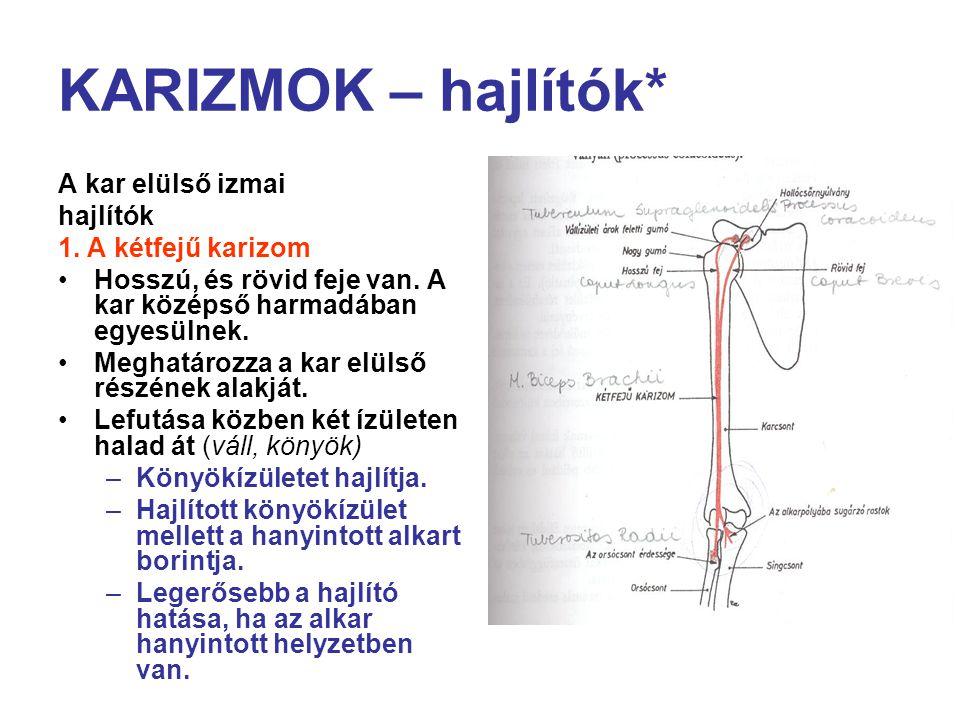 KARIZMOK – hajlítók* A kar elülső izmai hajlítók 1. A kétfejű karizom Hosszú, és rövid feje van. A kar középső harmadában egyesülnek. Meghatározza a k
