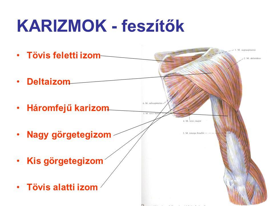 KARIZMOK - feszítők Tövis feletti izom Deltaizom Háromfejű karizom Nagy görgetegizom Kis görgetegizom Tövis alatti izom