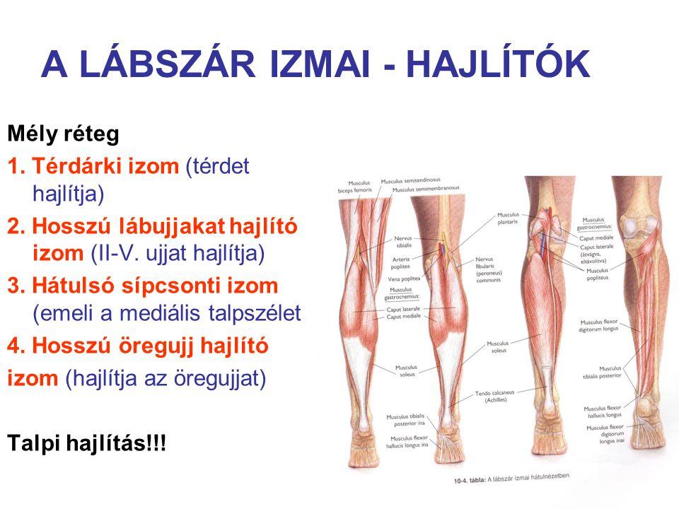 A LÁBSZÁR IZMAI - HAJLÍTÓK Mély réteg 1. Térdárki izom (térdet hajlítja) 2. Hosszú lábujjakat hajlító izom (II-V. ujjat hajlítja) 3. Hátulsó sípcsonti