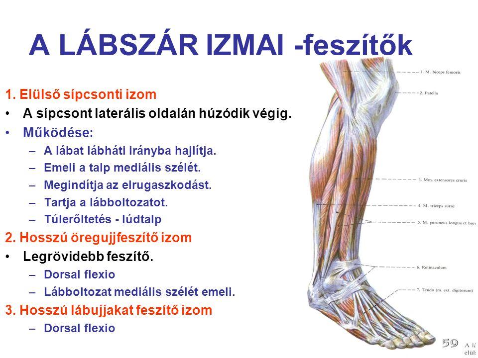 A LÁBSZÁR IZMAI -feszítők 1. Elülső sípcsonti izom A sípcsont laterális oldalán húzódik végig. Működése: –A lábat lábháti irányba hajlítja. –Emeli a t