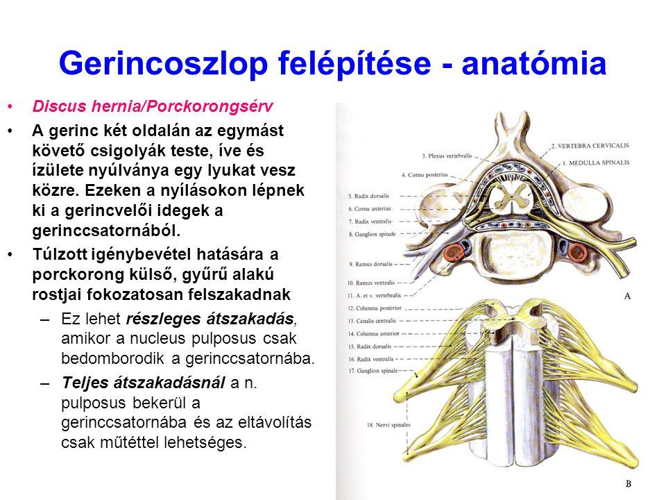 Gerincoszlop felépítése - anatómia Discus hernia/Porckorongsérv A gerinc két oldalán az egymást követő csigolyák teste, íve és ízülete nyúlványa egy l