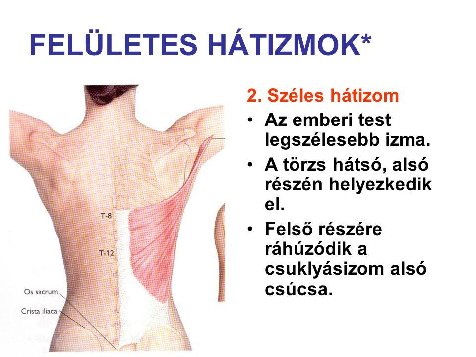 2. Széles hátizom Az emberi test legszélesebb izma. A törzs hátsó, alsó részén helyezkedik el. Felső részére ráhúzódik a csuklyásizom alsó csúcsa.
