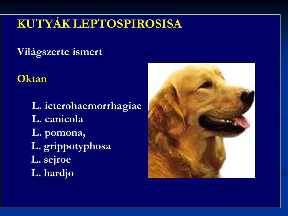 KUTYÁK LEPTOSPIROSISA Világszerte ismert Oktan L. icterohaemorrhagiae L. canicola L. pomona, L. grippotyphosa L. sejroe L. hardjo
