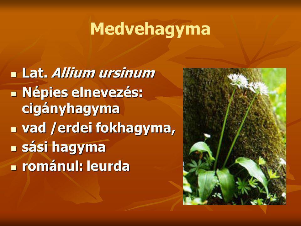 Medvehagyma Lat. Allium ursinum Lat.