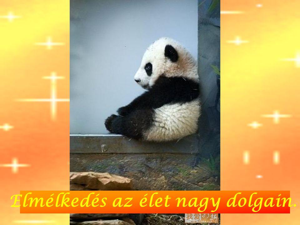 Panda büntiben.