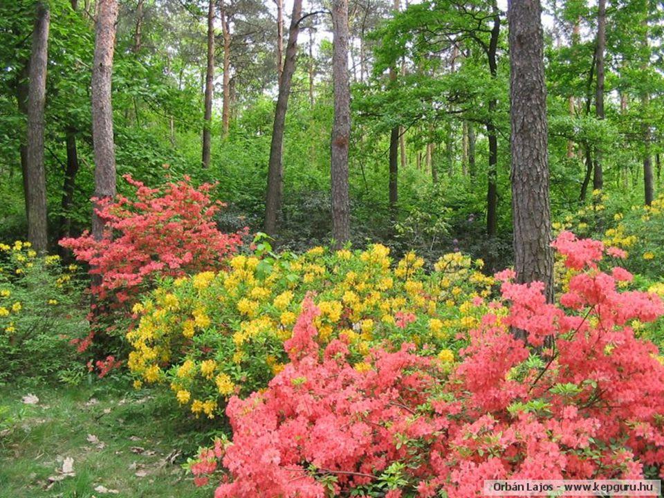 Április végén-május elején virágzanak a növényvilág legszebb növényei közé tartozó rhododendronok (havasszépék).