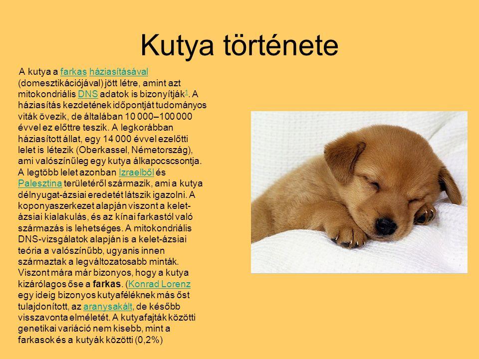 Kutya története A kutya a farkas háziasításával (domesztikációjával) jött létre, amint azt mitokondriális DNS adatok is bizonyítják 1. A háziasítás ke