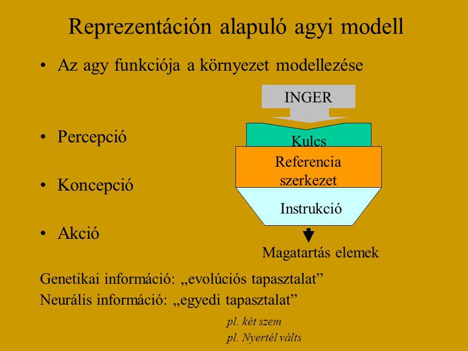 """Reprezentáción alapuló agyi modell Az agy funkciója a környezet modellezése Percepció Koncepció Akció Genetikai információ: """"evolúciós tapasztalat Neurális információ: """"egyedi tapasztalat pl."""