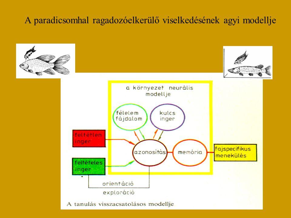 A paradicsomhal ragadozóelkerülő viselkedésének agyi modellje