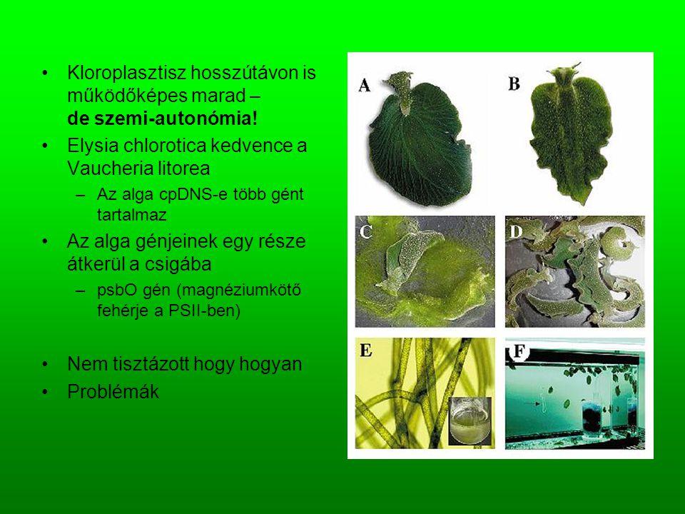 Kloroplasztisz hosszútávon is működőképes marad – de szemi-autonómia! Elysia chlorotica kedvence a Vaucheria litorea –Az alga cpDNS-e több gént tartal