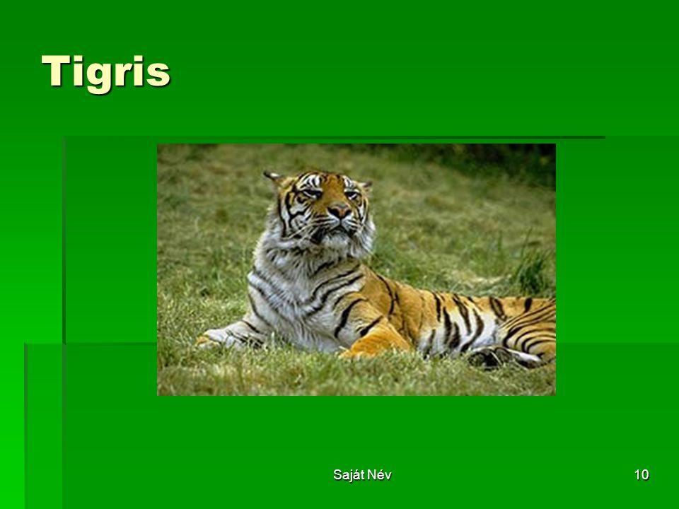 Saját Név10 Tigris