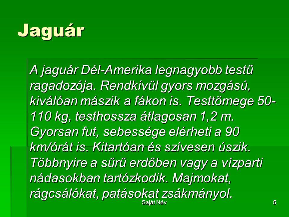5 Jaguár A jaguár Dél-Amerika legnagyobb testű ragadozója. Rendkívül gyors mozgású, kiválóan mászik a fákon is. Testtömege 50- 110 kg, testhossza átla