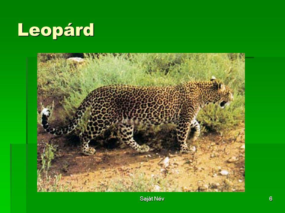 Saját Név6 Leopárd