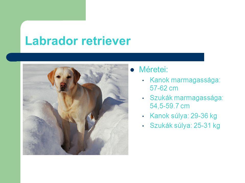 Labrador retriever Méretei: Kanok marmagassága: 57-62 cm Szukák marmagassága: 54,5-59.7 cm Kanok súlya: 29-36 kg Szukák súlya: 25-31 kg