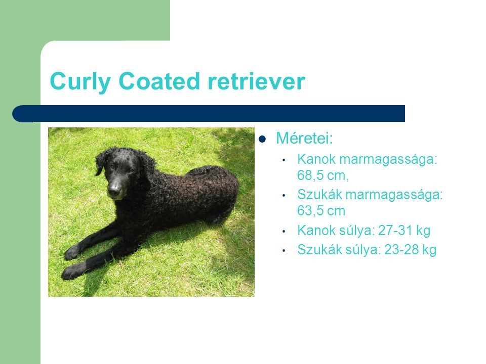 Curly Coated retriever Méretei: Kanok marmagassága: 68,5 cm, Szukák marmagassága: 63,5 cm Kanok súlya: 27-31 kg Szukák súlya: 23-28 kg