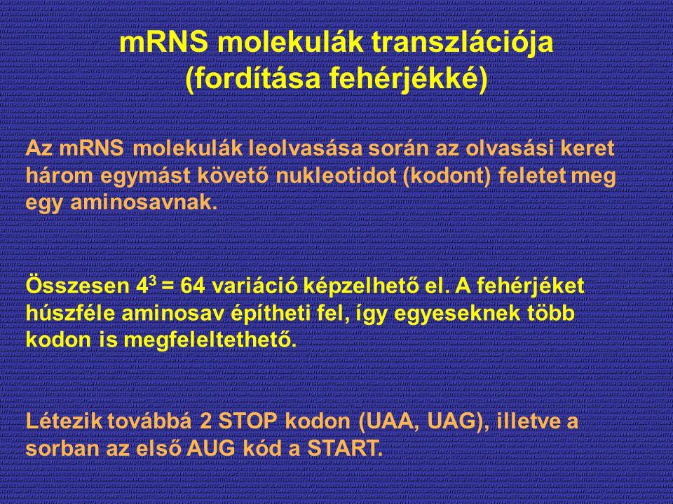 mRNS molekulák transzlációja (fordítása fehérjékké) Az mRNS molekulák leolvasása során az olvasási keret három egymást követő nukleotidot (kodont) feletet meg egy aminosavnak.