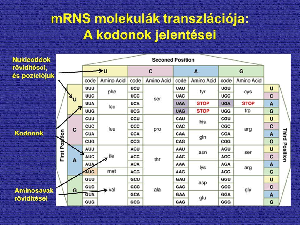 mRNS molekulák transzlációja: A kodonok jelentései Nukleotidok rövidítései, és pozíciójuk Kodonok Aminosavak rövidítései