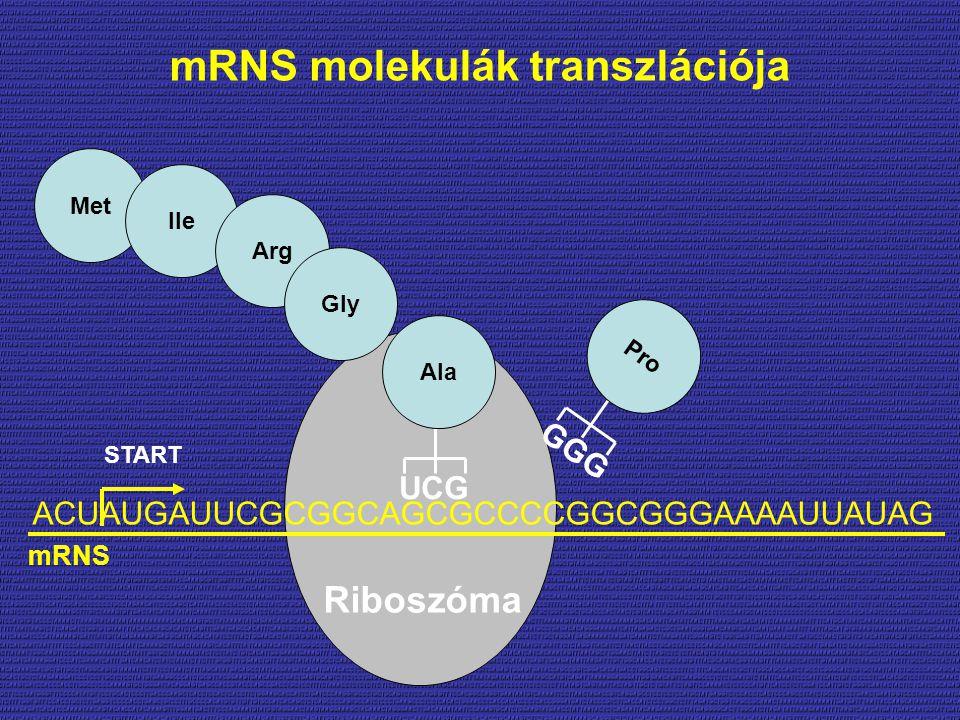 ACUAUGAUUCGCGGCAGCGCCCCGGCGGGAAAAUUAUAG START Met Ile Arg Gly UCG Ala GGG Pro Riboszóma mRNS mRNS molekulák transzlációja