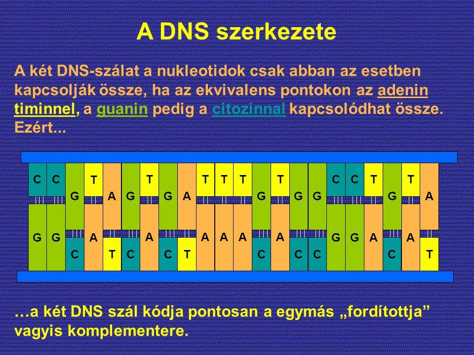 """A DNS szerkezete …a két DNS szál kódja pontosan a egymás """"fordítottja"""" vagyis komplementere. A két DNS-szálat a nukleotidok csak abban az esetben kapc"""