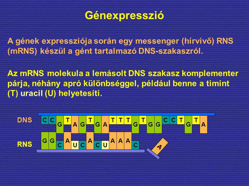 Génexpresszió AA C A C C AAG CU G U G T CT G TT GGGG TT A C A CCTT GA A A gének expressziója során egy messenger (hírvivő) RNS (mRNS) készül a gént tartalmazó DNS-szakaszról.