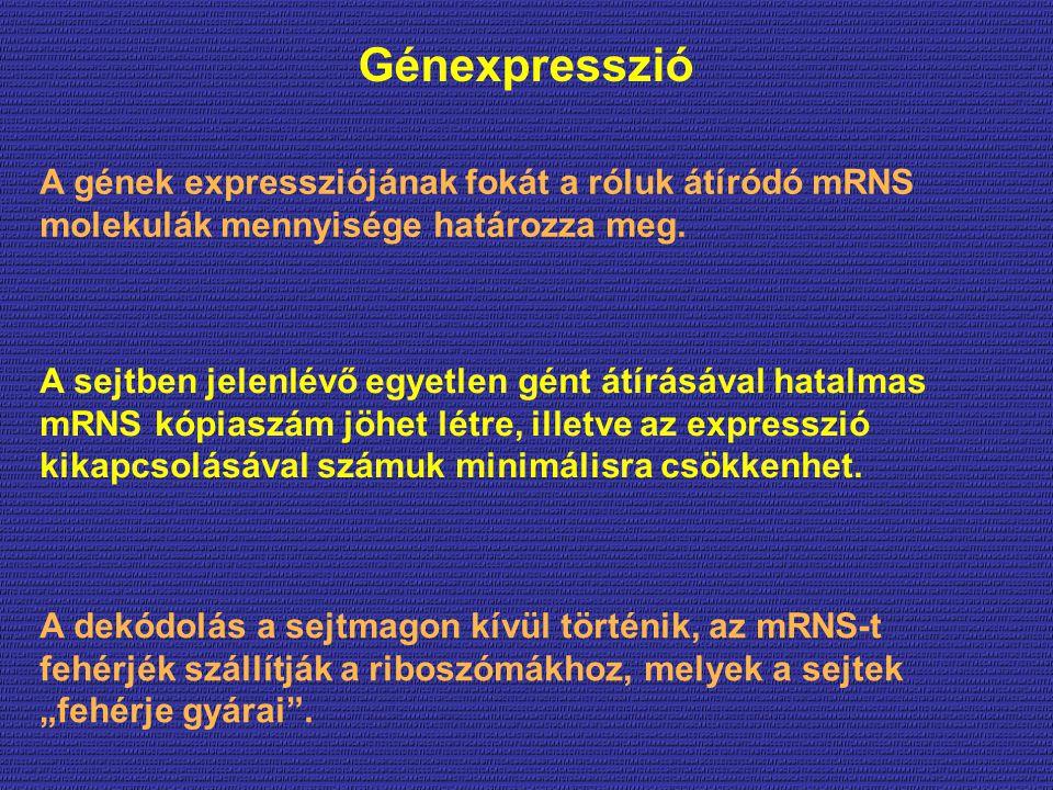 Génexpresszió A sejtben jelenlévő egyetlen gént átírásával hatalmas mRNS kópiaszám jöhet létre, illetve az expresszió kikapcsolásával számuk minimálisra csökkenhet.
