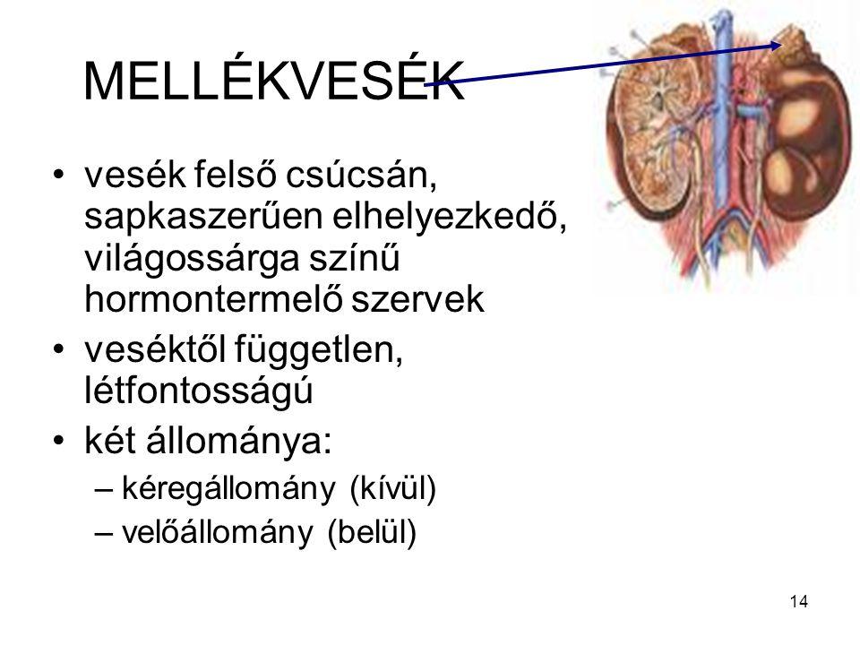 14 MELLÉKVESÉK vesék felső csúcsán, sapkaszerűen elhelyezkedő, világossárga színű hormontermelő szervek veséktől független, létfontosságú két állomány