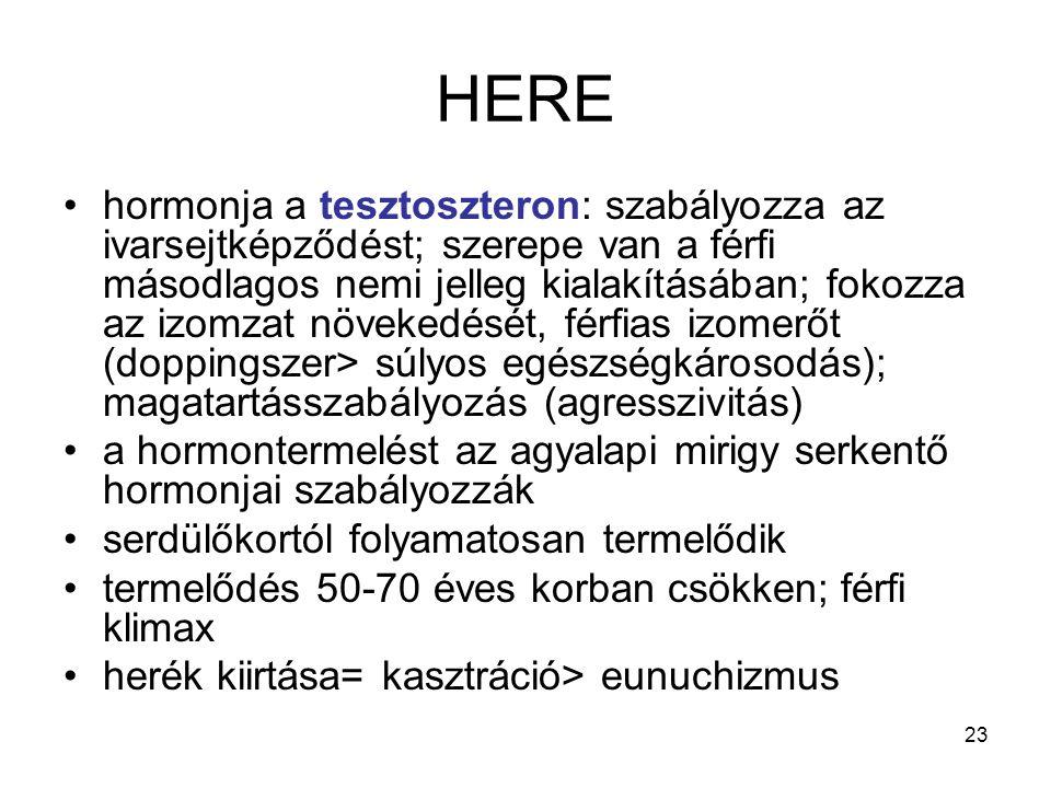23 HERE hormonja a tesztoszteron: szabályozza az ivarsejtképződést; szerepe van a férfi másodlagos nemi jelleg kialakításában; fokozza az izomzat növe