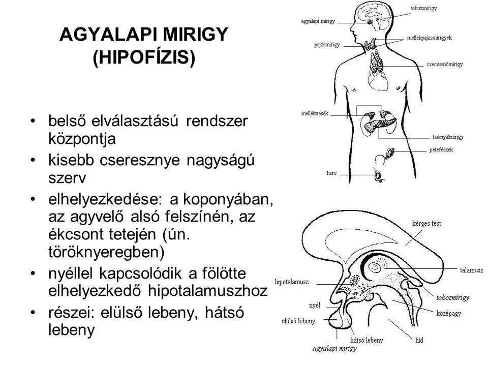 6 AGYALAPI MIRIGY (HIPOFÍZIS) belső elválasztású rendszer központja kisebb cseresznye nagyságú szerv elhelyezkedése: a koponyában, az agyvelő alsó fel