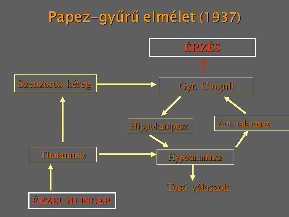 Papez-gyűrű elmélet (1937) ÉRZÉS Gyr. Cinguli Thalamusz ÉRZELMI INGER Hypotalamusz Testi válaszok Szenzoros kéreg Ant. talamusz Hippokampusz