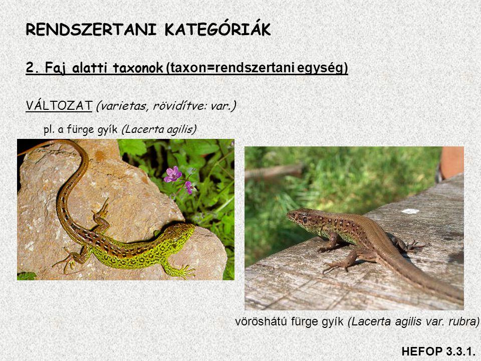 2. Faj alatti taxonok (taxon=rendszertani egység) VÁLTOZAT (varietas, rövidítve: var.) pl. a fürge gyík (Lacerta agilis) RENDSZERTANI KATEGÓRIÁK vörös