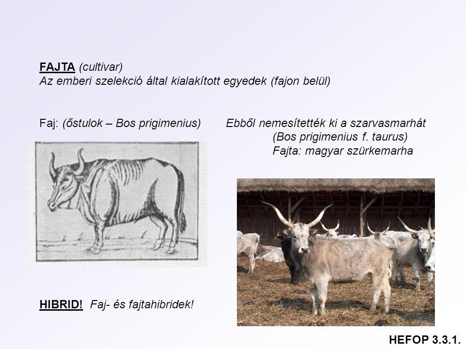 FAJTA (cultivar) Az emberi szelekció által kialakított egyedek (fajon belül) Faj: (őstulok – Bos prigimenius) Ebből nemesítették ki a szarvasmarhát (B