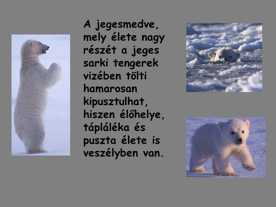 A jegesmedve, mely élete nagy részét a jeges sarki tengerek vizében tölti hamarosan kipusztulhat, hiszen élőhelye, tápláléka és puszta élete is veszélyben van.