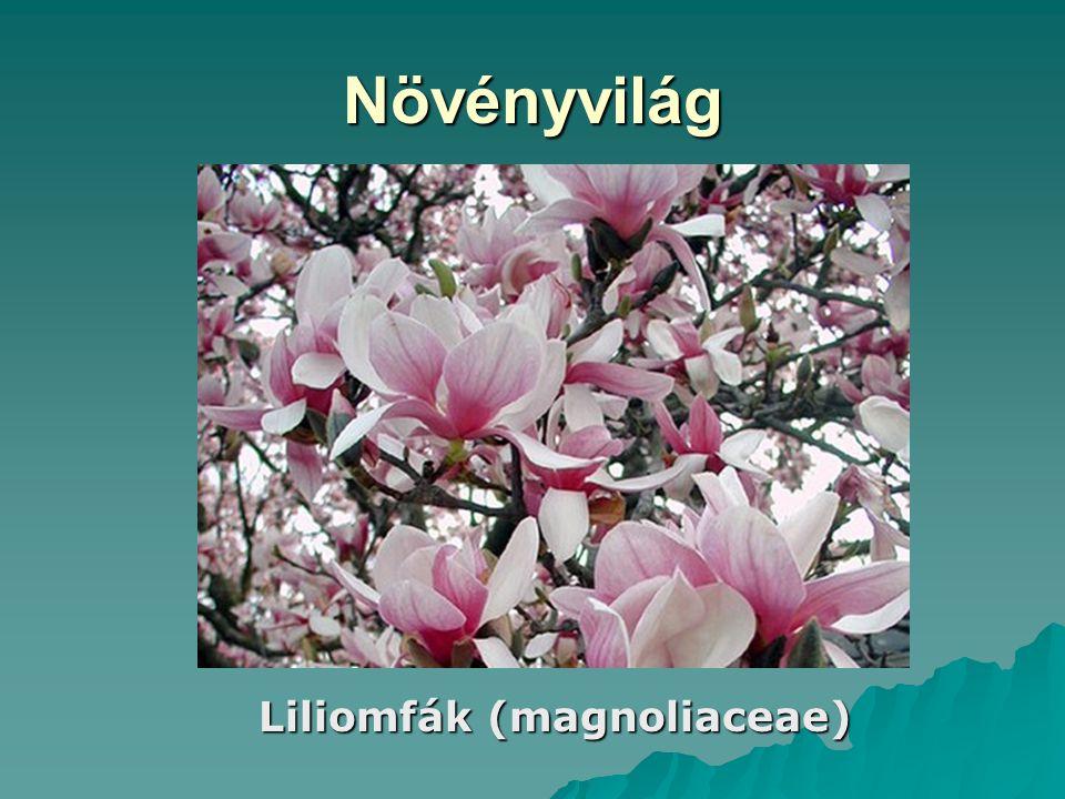 Növényvilág Liliomfák (magnoliaceae)