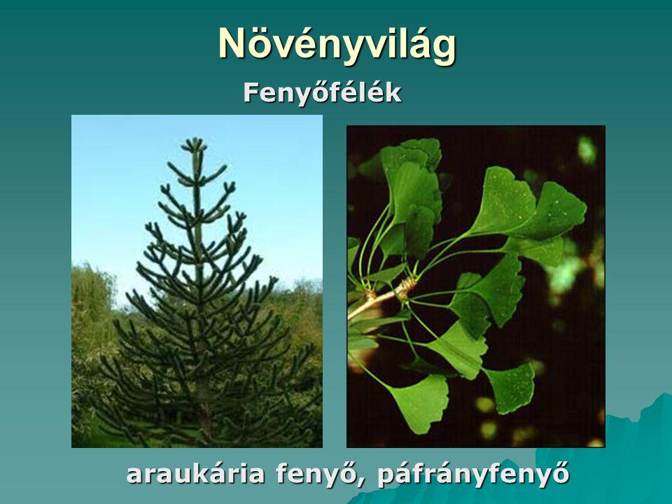 Növényvilág araukária fenyő, páfrányfenyő Fenyőfélék