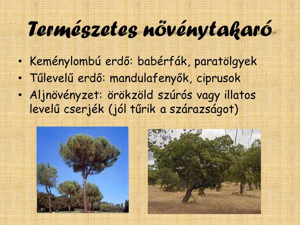 Természetes növénytakaró Keménylombú erdő: babérfák, paratölgyek Tűlevelű erdő: mandulafenyők, ciprusok Aljnövényzet: örökzöld szúrós vagy illatos levelű cserjék (jól tűrik a szárazságot)