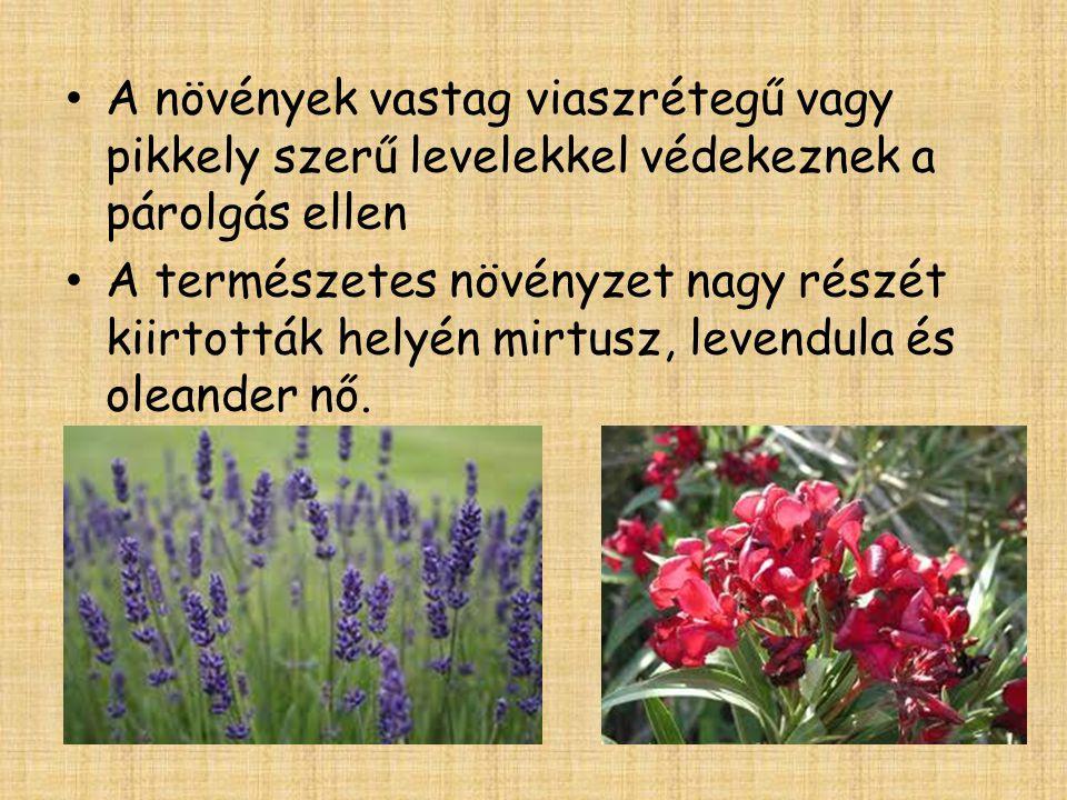 A növények vastag viaszrétegű vagy pikkely szerű levelekkel védekeznek a párolgás ellen A természetes növényzet nagy részét kiirtották helyén mirtusz, levendula és oleander nő.