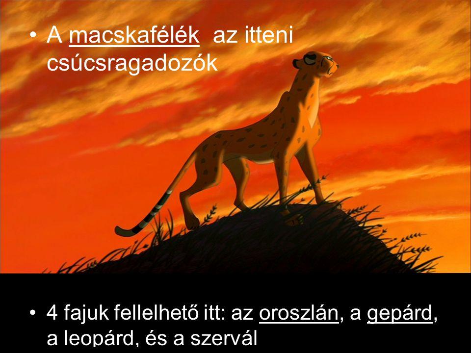 A macskafélék az itteni csúcsragadozók 4 fajuk fellelhető itt: az oroszlán, a gepárd, a leopárd, és a szervál