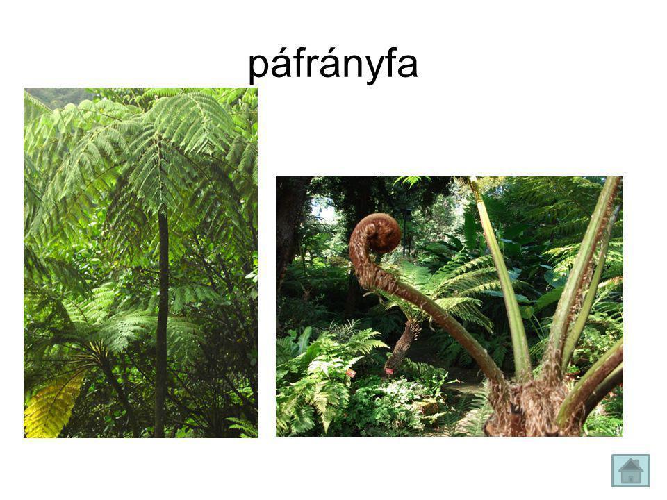 páfrányfa