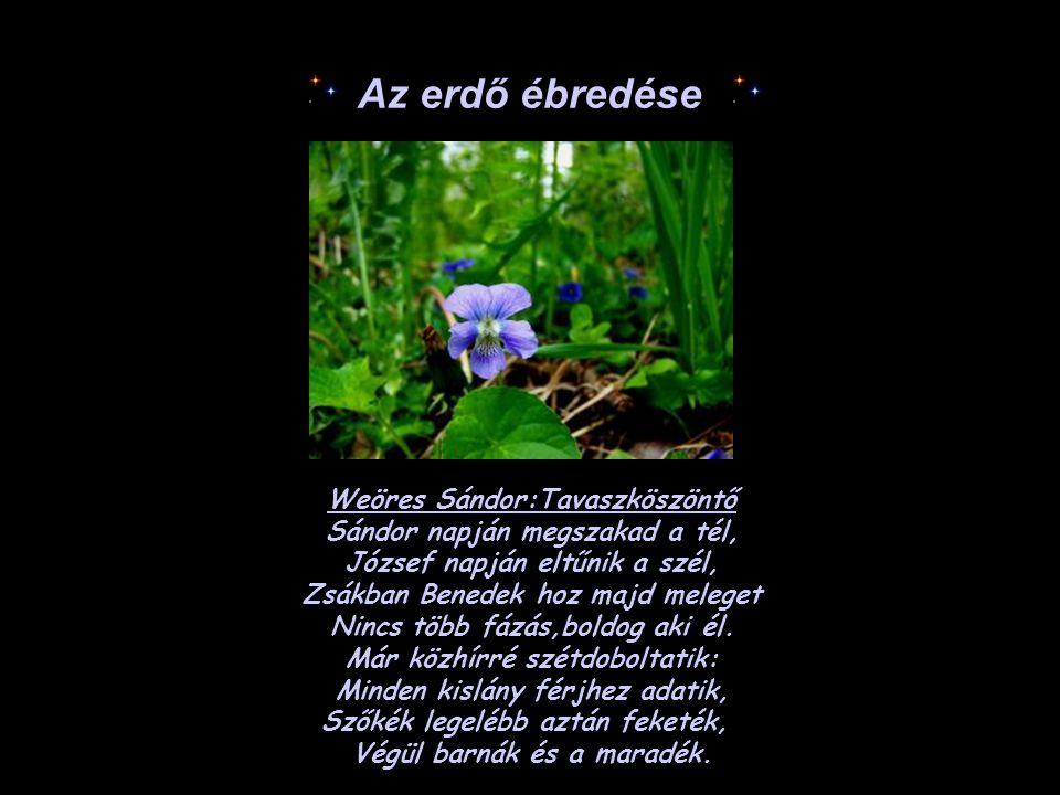 Az erdő ébredése Weöres Sándor:Tavaszköszöntő Sándor napján megszakad a tél, József napján eltűnik a szél, Zsákban Benedek hoz majd meleget Nincs több