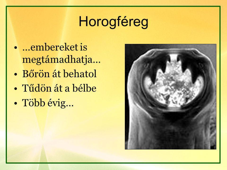 Horogféreg …embereket is megtámadhatja… Bőrön át behatol Tűdön át a bélbe Több évig…