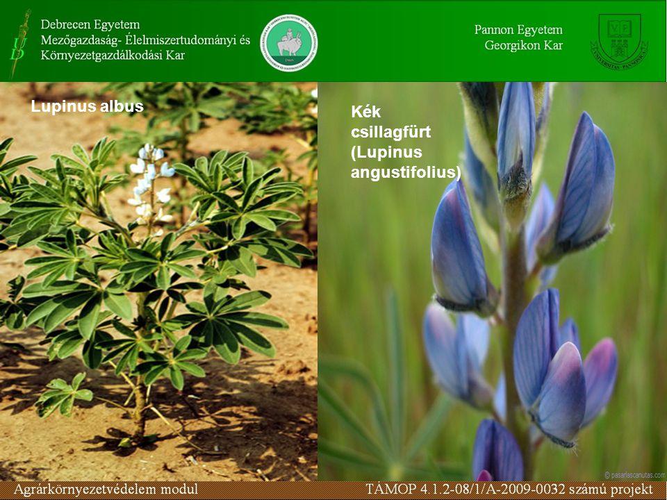 Lupinus albus Kék csillagfürt (Lupinus angustifolius)