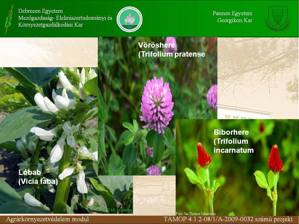 Lóbab (Vicia faba) Vöröshere (Trifolium pratense Bíborhere (Trifolium incarnatum)