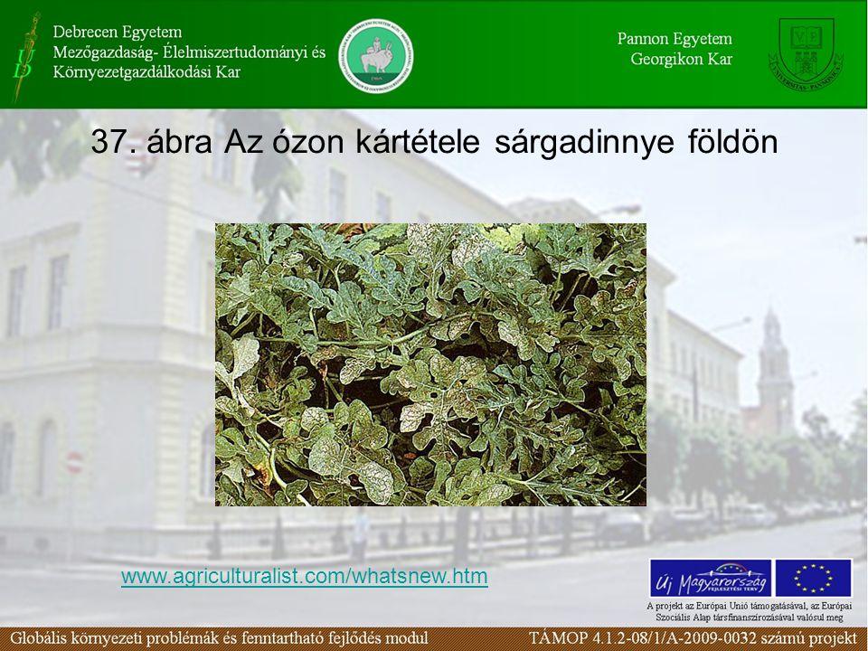 37. ábra Az ózon kártétele sárgadinnye földön www.agriculturalist.com/whatsnew.htm