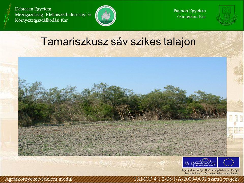 Tamariszkusz sáv szikes talajon