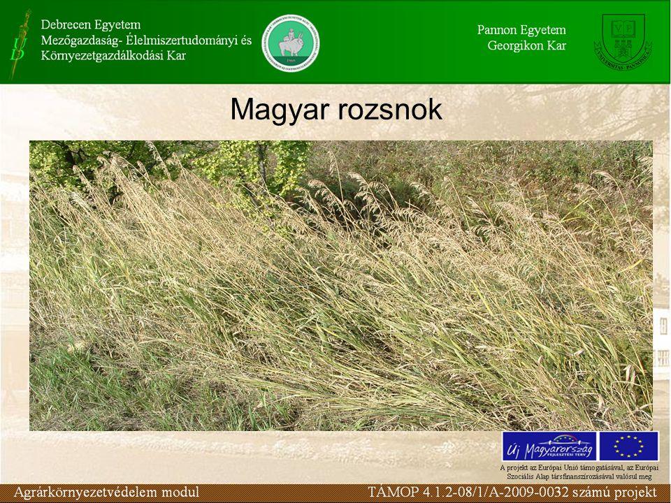 Magyar rozsnok