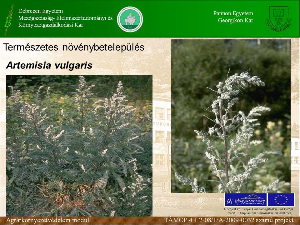 Természetes növénybetelepülés Artemisia vulgaris
