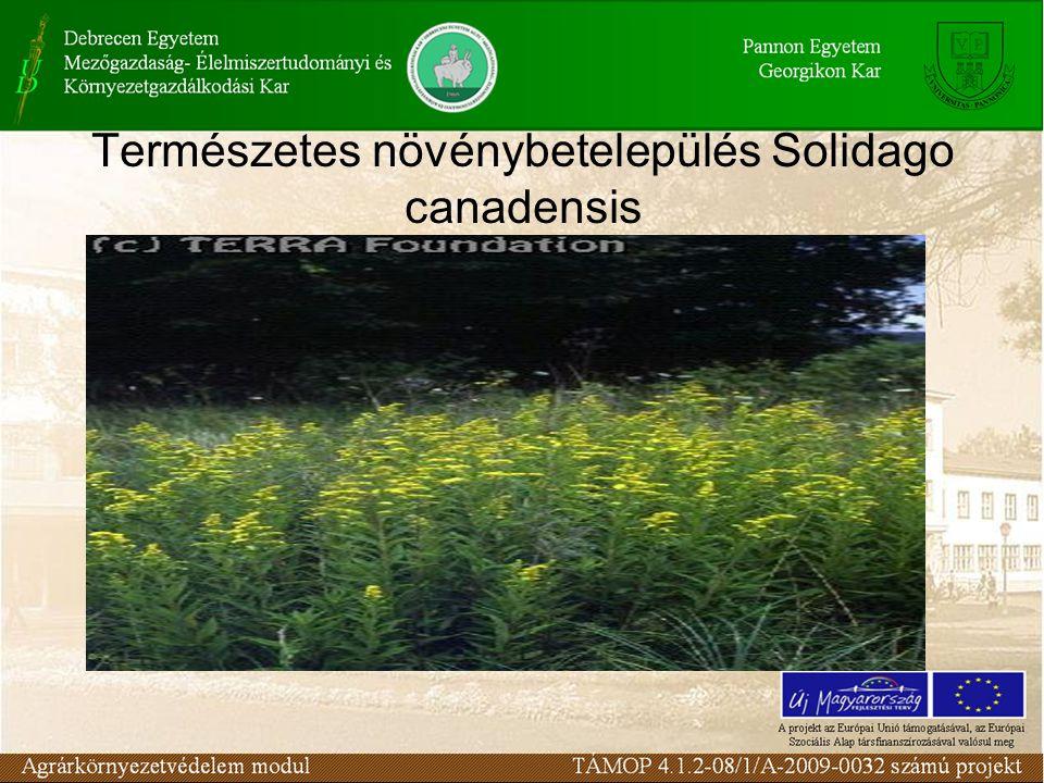 Természetes növénybetelepülés Solidago canadensis