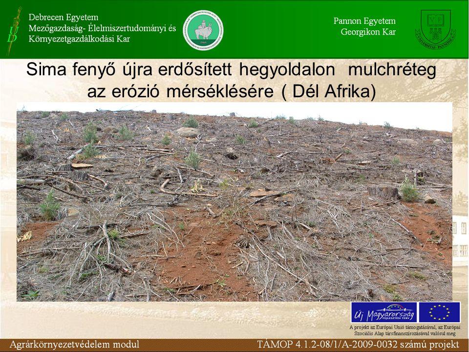 Sima fenyő újra erdősített hegyoldalon mulchréteg az erózió mérséklésére ( Dél Afrika)